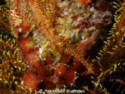 Harlequin (Ornate) Ghostpipefish by Hansruedi Wuersten