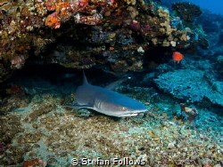 Hanging - Whitetip Reef Shark - Triaenodon obesus - Gilli... by Stefan Follows