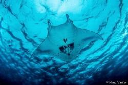 Great Manta Ray action in the Solomon Islands by Norm Vexler