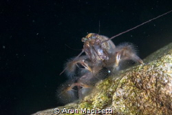 Bamboo shrimp filterfeeding at the base of a waterfall. by Arun Madisetti