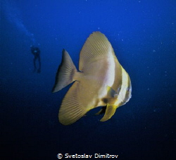 As usually, this curious bat fish come to see what we do.... by Svetoslav Dimitrov