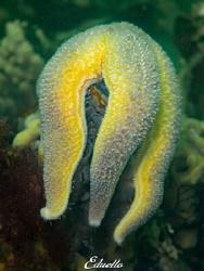 Gewone Zeester, asterias rubens. Awesome starfish by Eduard Bello