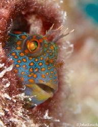 Parrothead  Hypsoblennius invemar  Tessellated blenny ... by John Roach