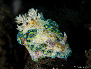 A rare and beautiful nudibranch - Girdled Glossodoris. by Norm Vexler