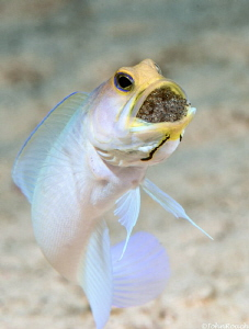 I need a little room.....Yellowhead Jaw Fish  Something ... by John Roach