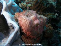 Tasseled Scorpionfish - Scorpaenopsis oxycephala by Hansruedi Wuersten