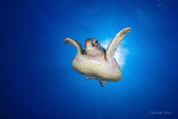 Flying sea turtle by Julian Hsu