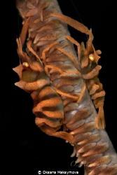 Zanzibar Whip Coral Shrimp (Dasycaris zanzibarica) Anil... by Oksana Maksymova