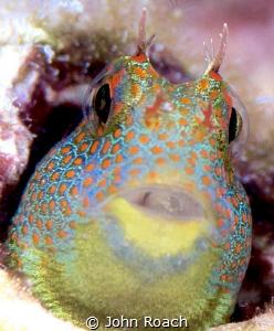 Tessellated Blenny Hypsoblennius invemar  Bonaire Up c... by John Roach