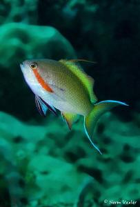 Threadfin Anthias in Ambon by Norm Vexler