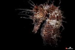 Hippocampus guttulatus, snooted strobe light by Raffaele Livornese