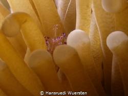 Sarasvati Anemone shrimp - Ancylomenes sarasvatii in Anemone by Hansruedi Wuersten