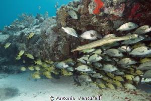 u/w caribbean reef, Playa del Carmen by Antonio Venturelli