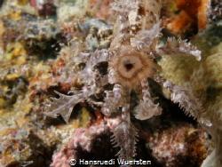 Spotted Sea Cucumber - Synapta maculata by Hansruedi Wuersten