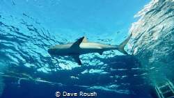 Sharks Up! by Dave Roush