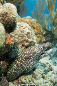 moray eel,Playa del Carmen by Antonio Venturelli
