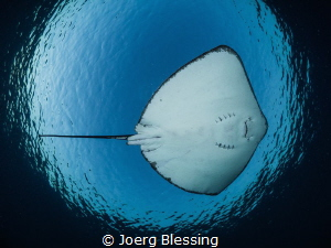 Stingray flight by Joerg Blessing