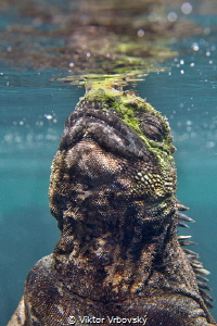 Marine iguana enjoys the first breath after returning fro... by Viktor Vrbovský