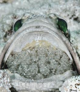 The scoop Banded jawfish Opistognathus macrognathus by John Roach