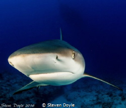 Reef shark Exuma by Steven Doyle