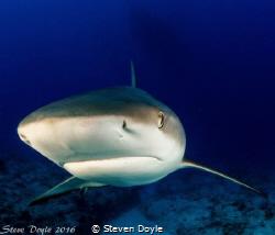 Reef shark Exuma by Steven Doyle