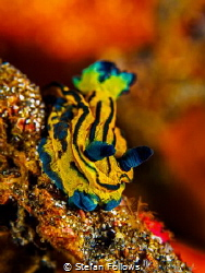 Slider  Nudibranch - Tambja sp.  Bali, Indonisia by Stefan Follows