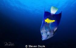 Red Sea, Yellowbar Angelfish by Steven Doyle