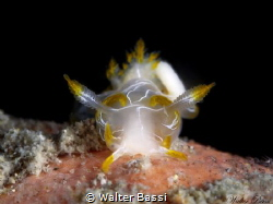 Trapania lineata by Walter Bassi