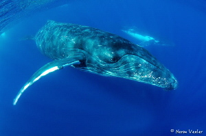 Humpbacks in Tonga by Norm Vexler