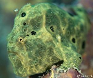 Longlure Frogfish Bonaire  Antennarius multiocellatus by John Roach