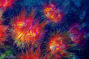 Underwater Fireworks.  This is a group of fire urchins, a... by Laurie Slawson