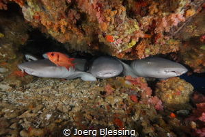 Nurseshark line up by Joerg Blessing