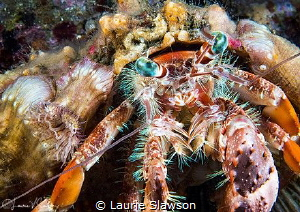 Anemone Hermit Crab/Photographed with a 60 mm macro lens by Laurie Slawson