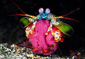 Threatening Peacock Mantis Shrimp Protecting Eggs/Photogr... by Laurie Slawson