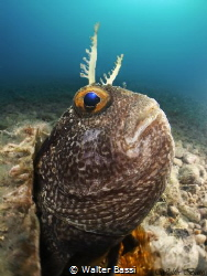 Blennius portrait by Walter Bassi