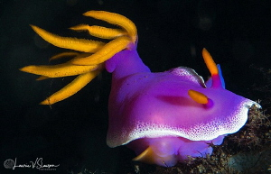 Hypselodoris apolegma/Photographed with a 100 mm macro lens. by Laurie Slawson