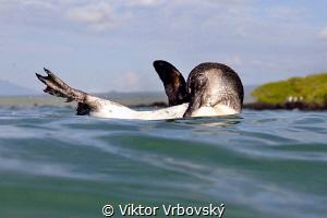 Galápagos Penguin (Spheniscus mendiculus)(Isla Isabela) by Viktor Vrbovský