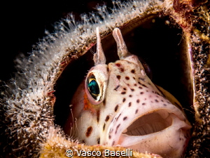 Small blenny in an empty barnacle by Vasco Baselli