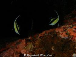 Banner fishes on dark by Hansruedi Wuersten