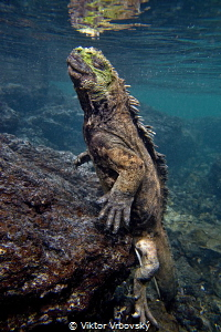 Return from deep - Marine iguana (Amblyrhynchus cristatus... by Viktor Vrbovský