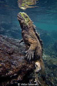 Return from deep - Marine iguana (Amblyrhynchus cristatus... by Viktor Vrbovský
