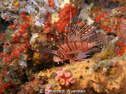 Zebra Lionfish - Dendrochirus zebra by Hansruedi Wuersten