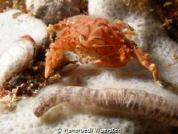Rough Box Crab - Calappa gallus by Spotted Sea Cucumber by Hansruedi Wuersten
