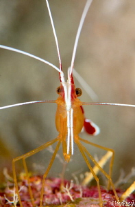 White striped scarlet cleaning shrimp by John Roach