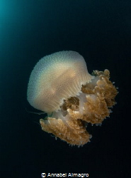 This is a jellyfish I found during a night dive. by Annabel Almagro