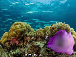 A couple of clownfish in their anemone and a school of ba... by Efra Mendez