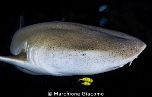 Portrait nurse shark.