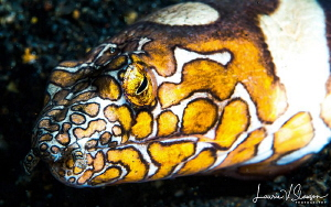 Napolean snake eel/photographed with a 60 mm macro lens a... by Laurie Slawson