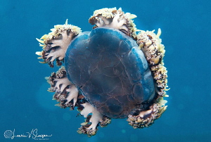 Cassopea andromeda (upside-down jellyfish)/Photographed w... by Laurie Slawson