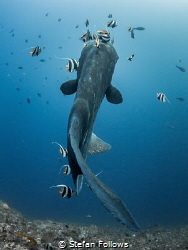 Angles - Bump-Head Sunfish - Mola alexandrini - Gilli Mim... by Stefan Follows